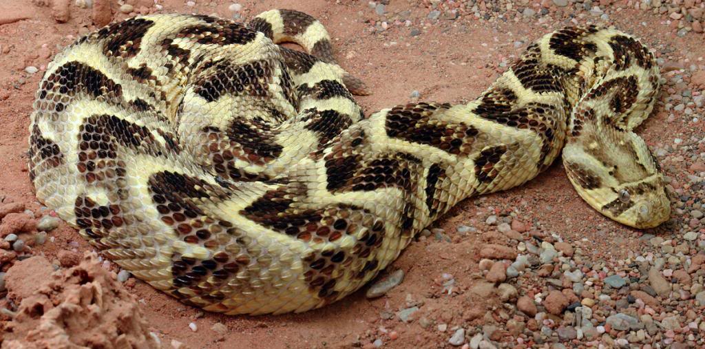 The Puff Adder and It's Business Positioning Strategy